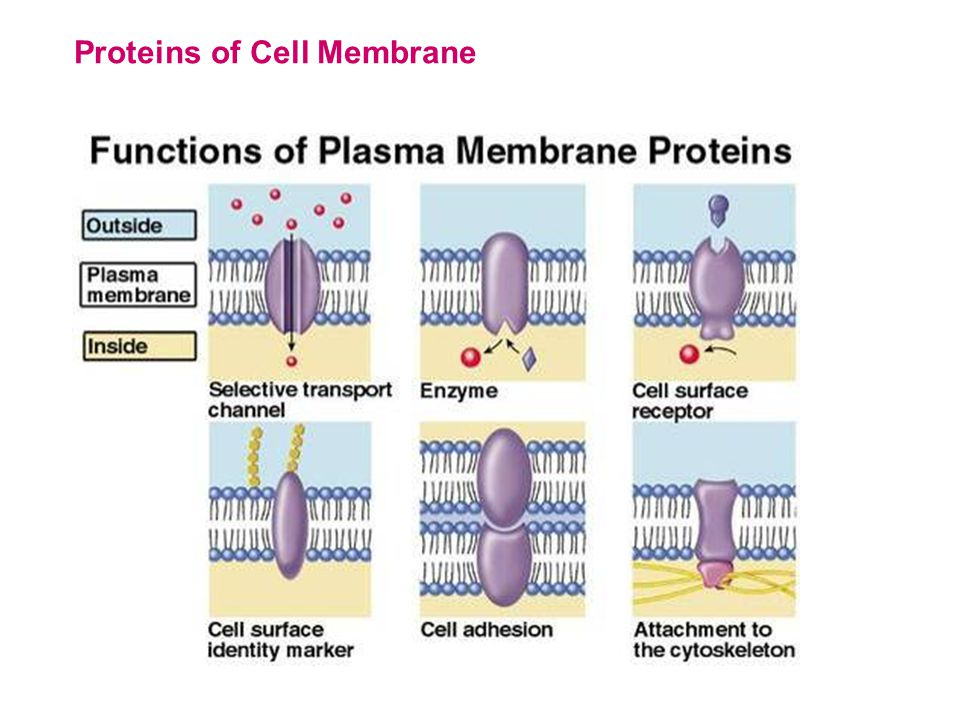 They are found only in plant cells!!.They are surrounded by double membrane.