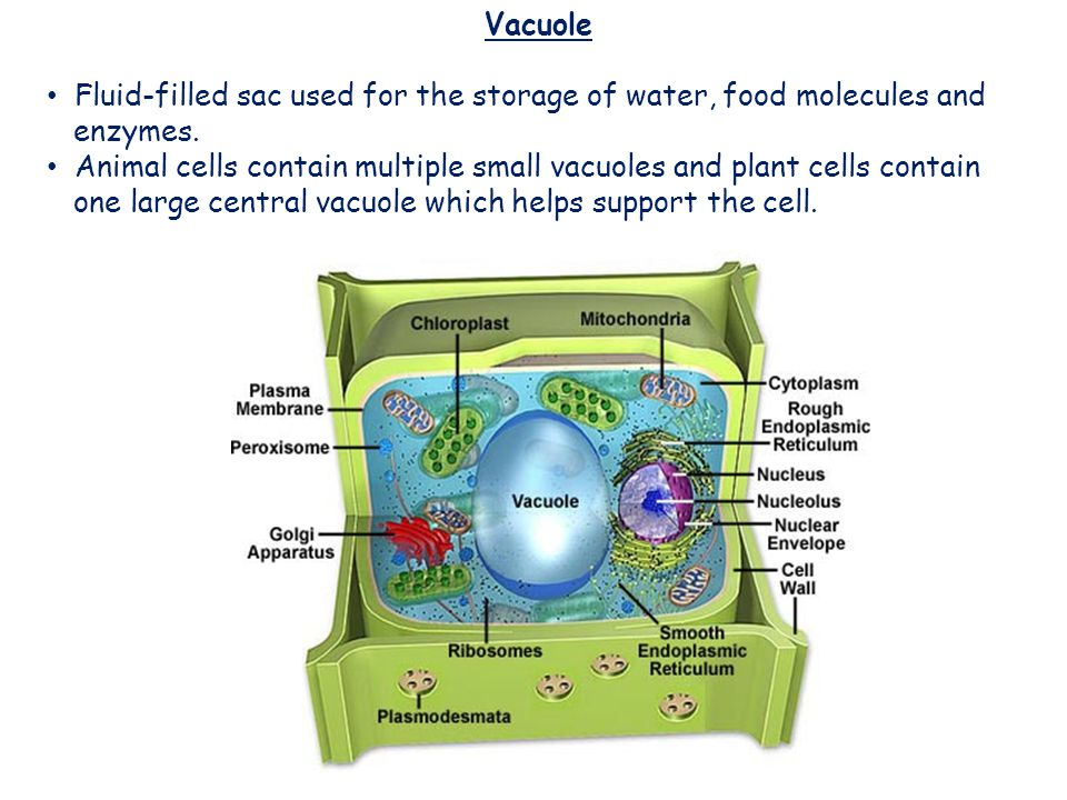 Vacuoles Vacuole Fluid-filled sac used for the storage of water, food molecules and enzymes. Animal cells contain multiple small vacuoles and plant ce