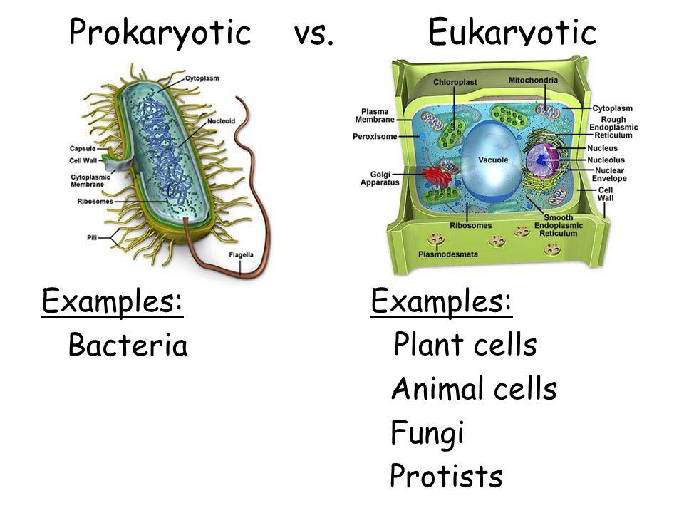 Prokaryotic vs. Eukaryotic Examples: Bacteria Examples: Plant cells Animal cells Fungi Protists