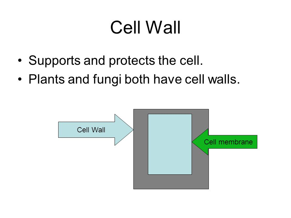 Cell Wall Supports and protects the cell. Plants and fungi both have cell walls.