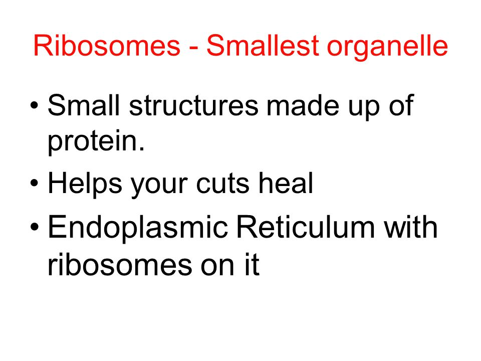 Ribosomes - Smallest organelle Small structures made up of protein.