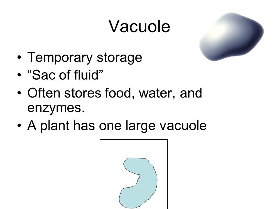 Temporary storage Sac of fluid Often stores food, water, and enzymes.