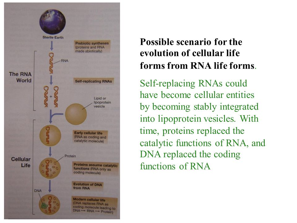 Possible scenario for the evolution of cellular life forms from RNA life forms. Self-replacing RNAs could have become cellular entities by becoming st