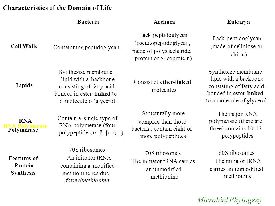 Characteristics of the Domain of Life BacteriaArchaeaEukarya Lack peptidoglycan (pseudopeptidoglycan, made of polysaccharide, protein or glicoprotein) Consist of ether-linked molecules Structurally more complex than those bacteria, contain eight or more polypeptides 70S ribosomes The initiator tRNA carries an unmodified methionine Lack peptidoglycan (made of cellulose or chitin) Synthesize membrane lipid with a backbone consisting of fatty acid bonded in ester linked to a molecule of glycerol The major RNA polymerase (there are three) contains 10-12 polypeptides 80S ribosomes The initiator tRNA carries an unmodified methionine in a a of Cell Walls Lipids RNA RNA Polymerase Polymerase Features of Protein Synthesis,,,, ',', ) Containning Containning peptidoglycan peptidoglycan Synthesize membrane lipid with aabackbone consisting of fatty acid bonded in ester linked to to molecule of glycerol Contain aasingle type of RNA polymerase (four polypeptides, ααββββ σσ) 70S ribosomes An initiator tRNA containing aamodified methionine residue, formylmethionine