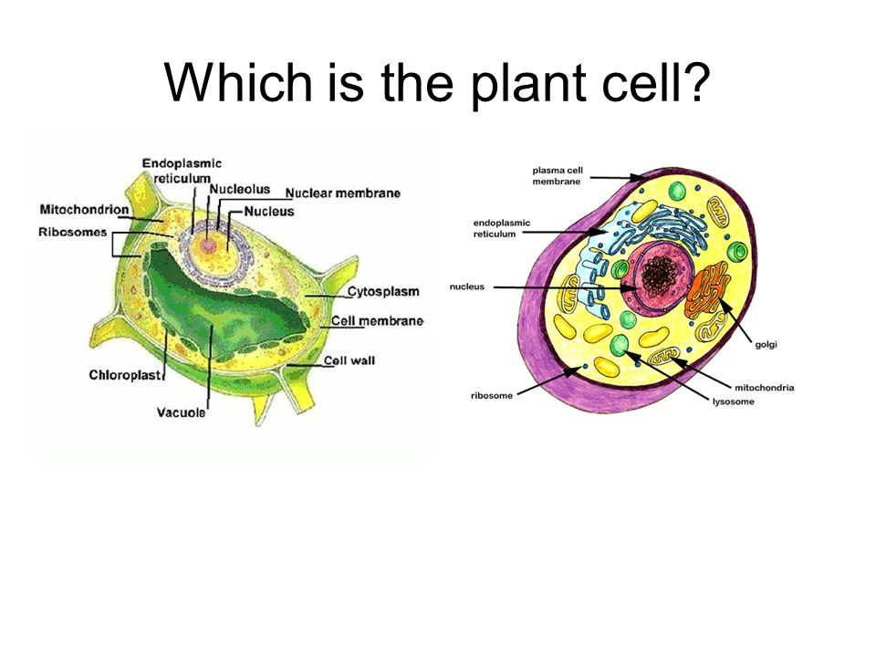 Which is the plant cell
