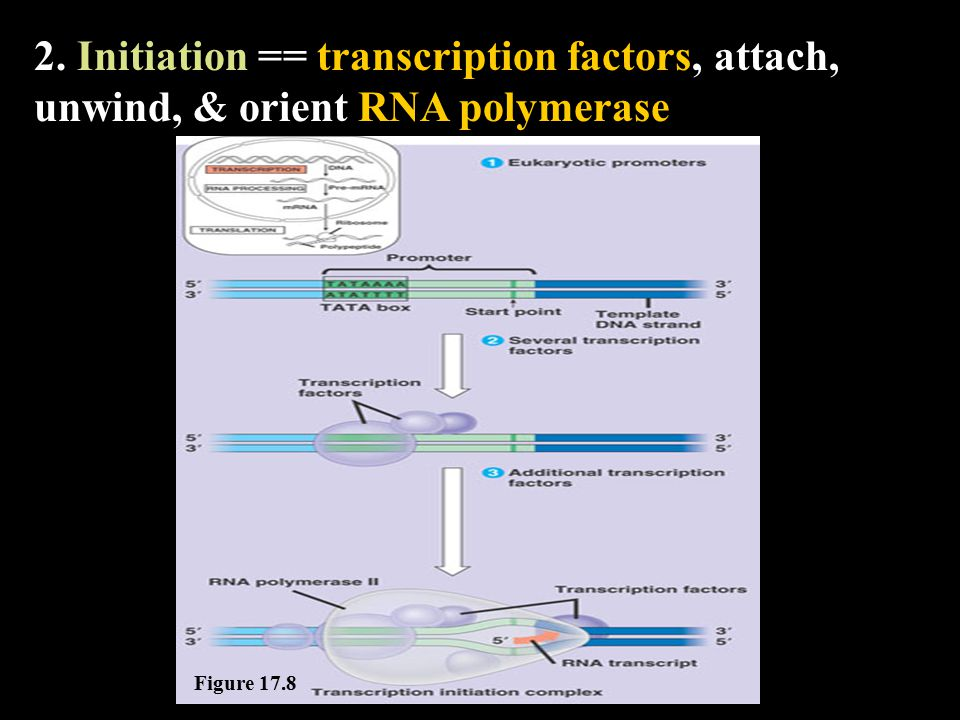 3. Elongation == RNA polymerase reads and lays down bases