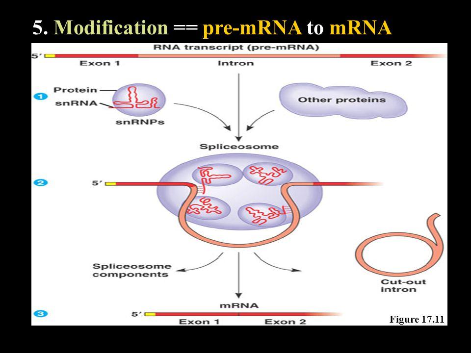 5. Modification == pre-mRNA to mRNA Figure 17.11
