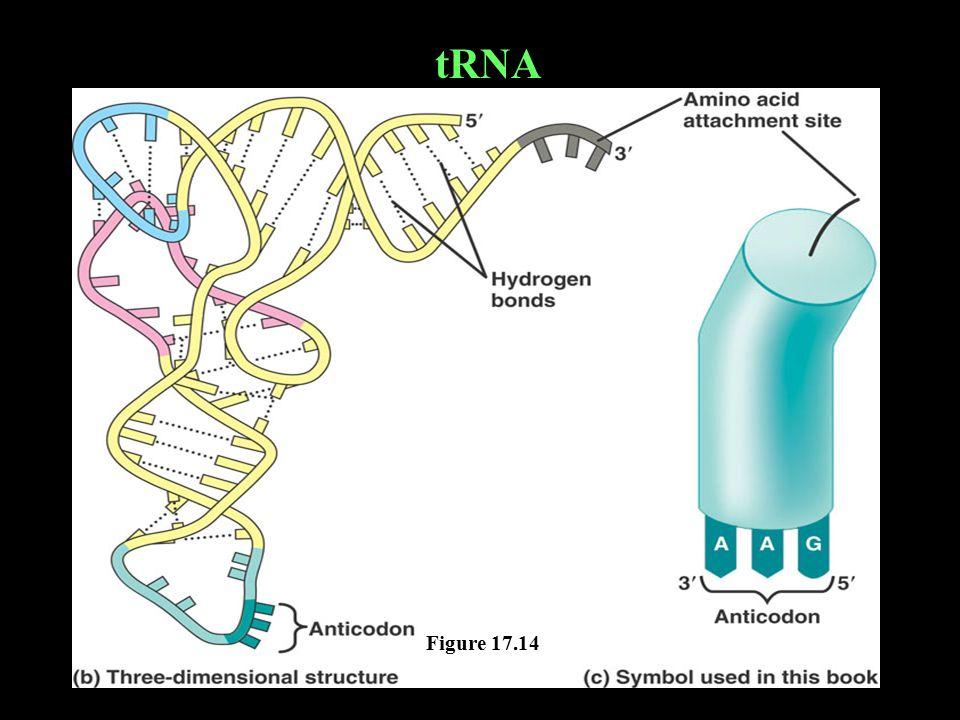 Figure 17.14 tRNA