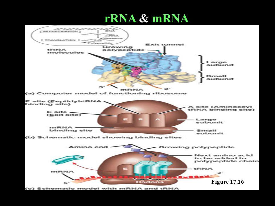 Figure 17.16 rRNA & mRNA