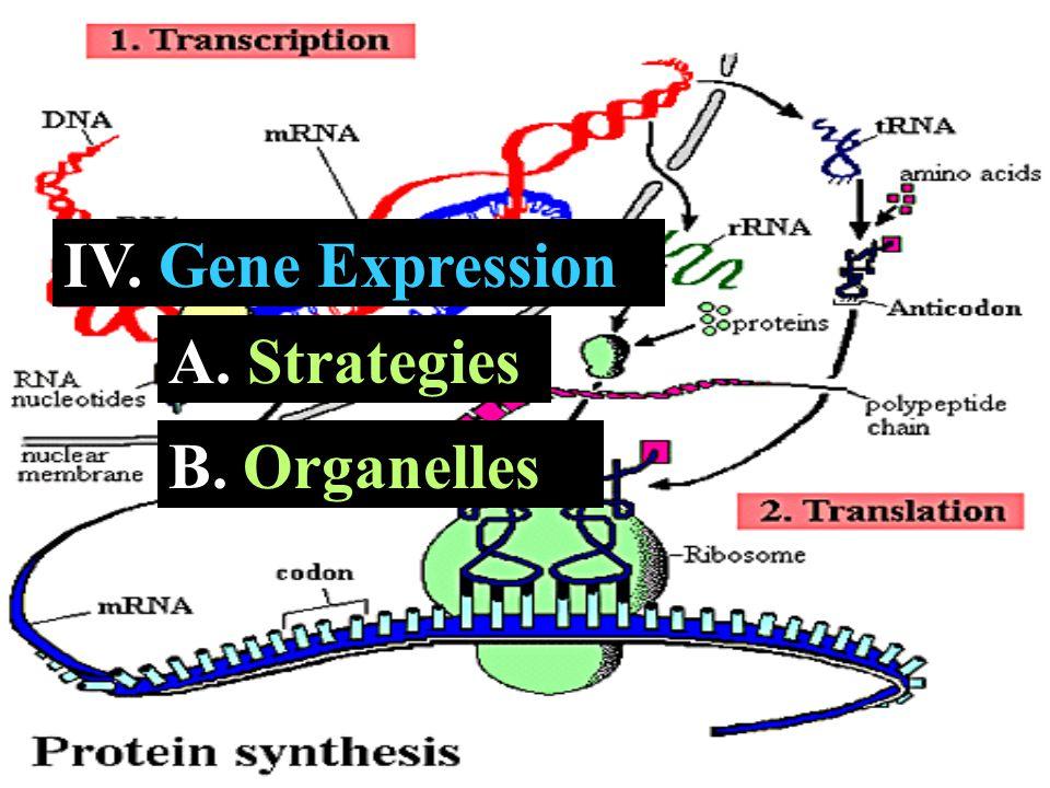 IV. Gene Expression A. A. Strategies B. B. Organelles