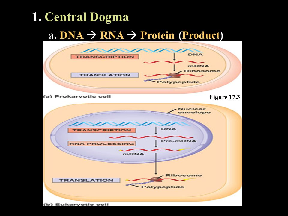 1. Central Dogma a. DNA  RNA  Protein (Product) Figure 17.3