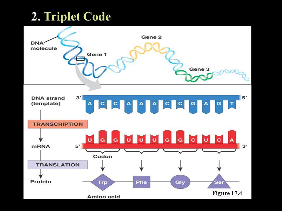 2. Triplet Code Figure 17.4