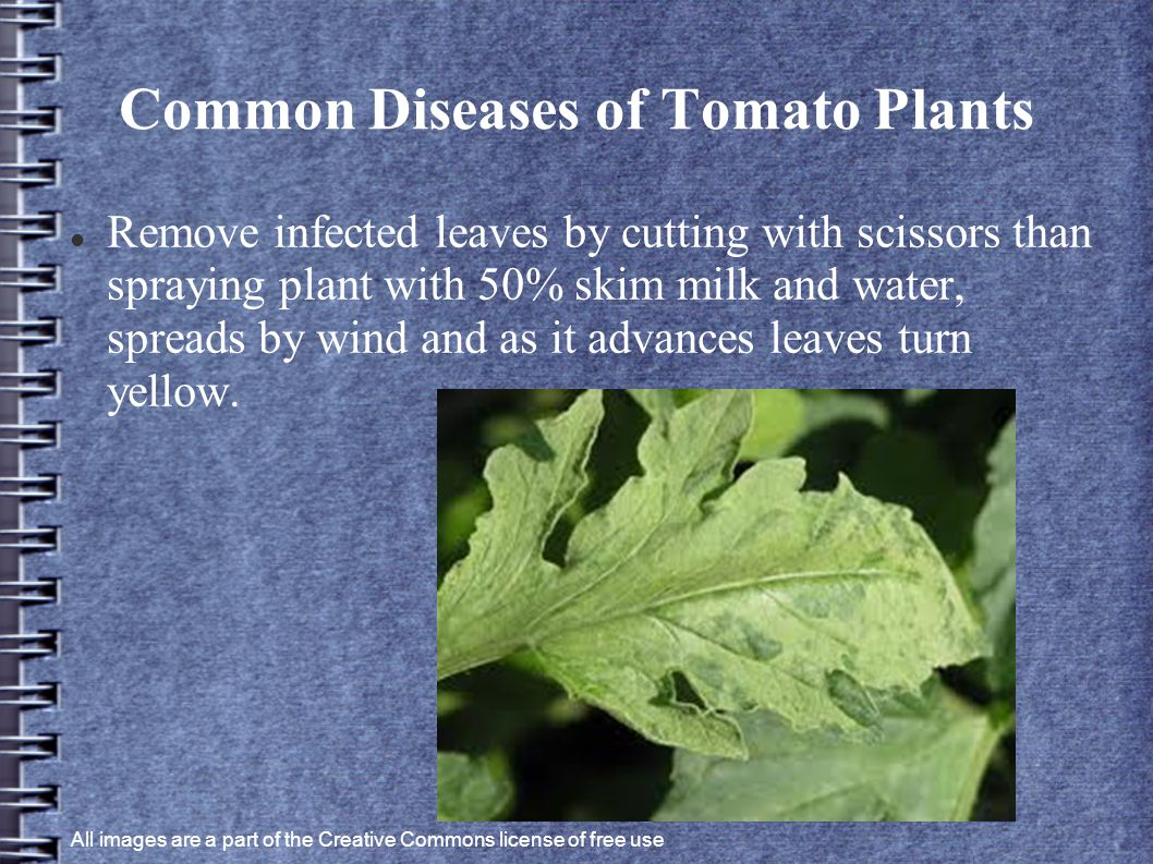 Common Diseases of Tomato Plants Remove infected leaves by cutting with scissors than spraying plant with 50% skim milk and water, spreads by wind and