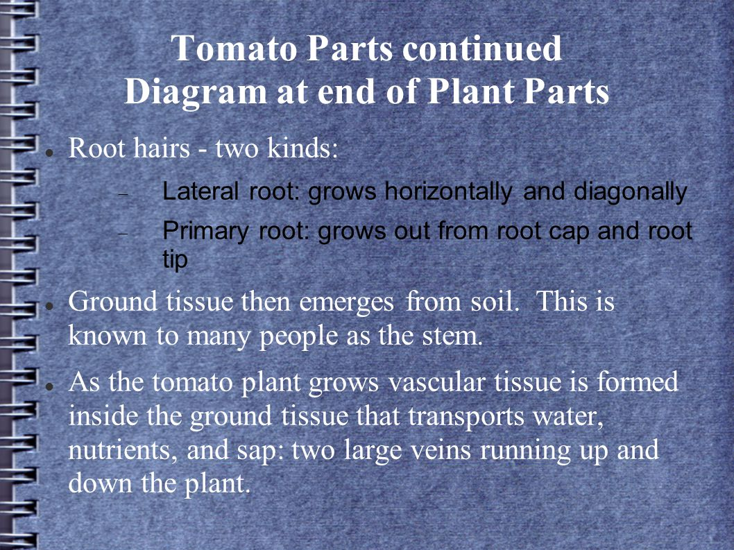 Tomato Parts continued Diagram at end of Plant Parts Root hairs - two kinds:  Lateral root: grows horizontally and diagonally  Primary root: grows o