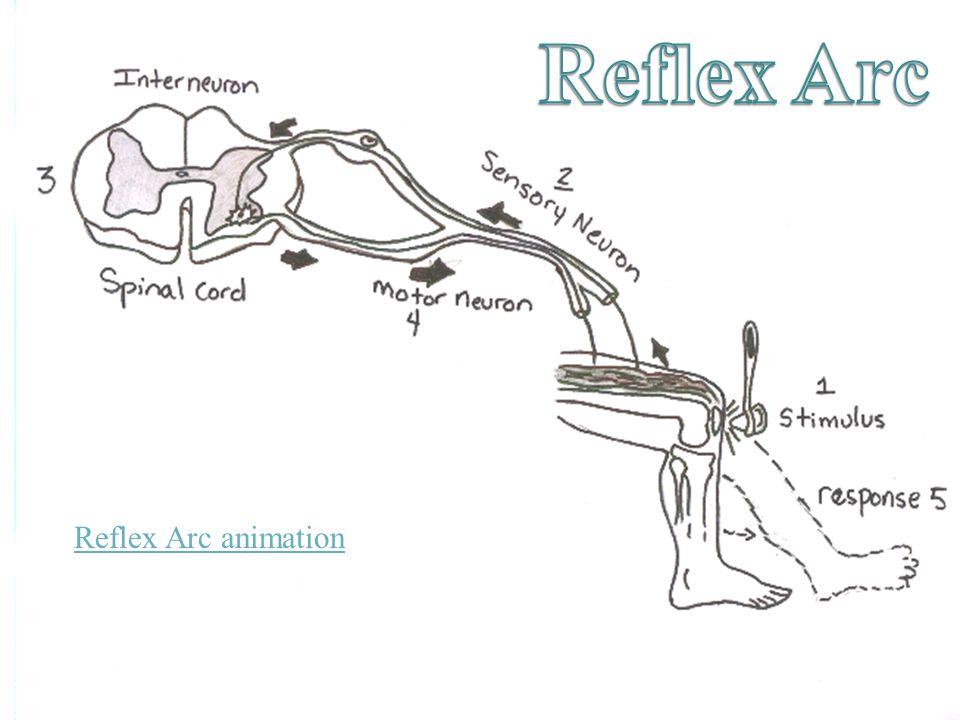 Reflex Arc animation