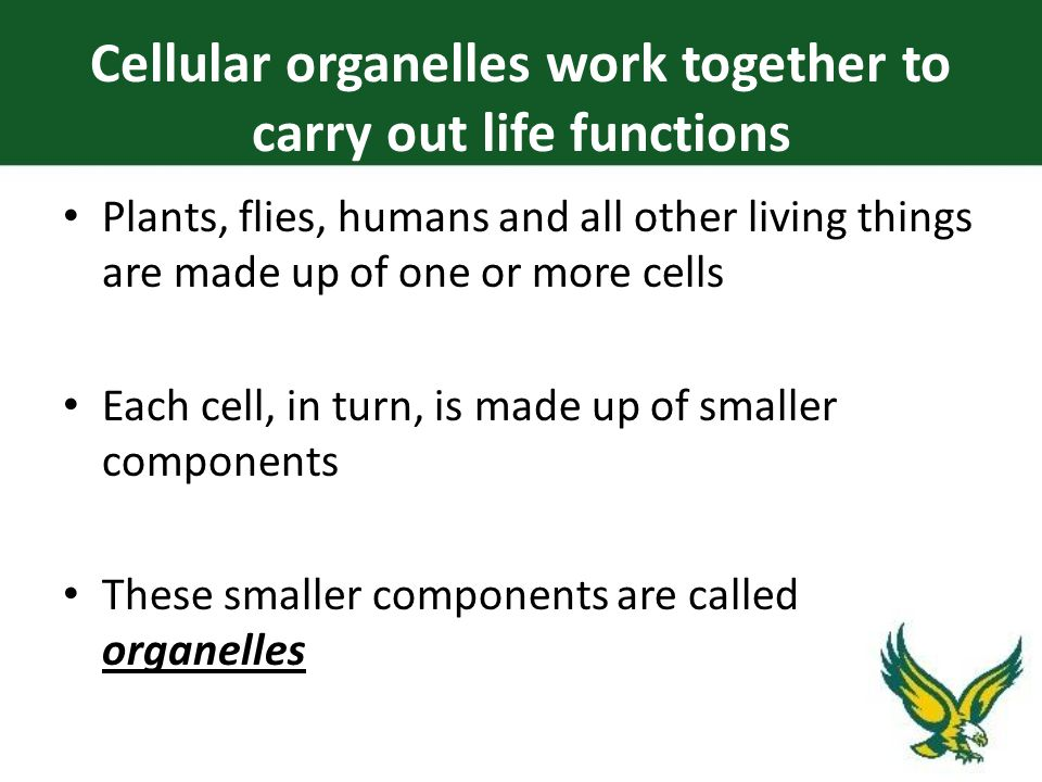 Plants, flies, humans and all other living things are made up of one or more cells Each cell, in turn, is made up of smaller components These smaller components are called organelles