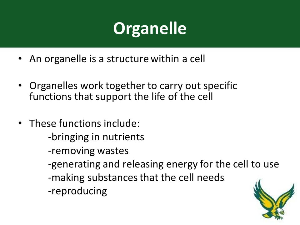 Organelle An organelle is a structure within a cell Organelles work together to carry out specific functions that support the life of the cell These functions include: -bringing in nutrients -removing wastes -generating and releasing energy for the cell to use -making substances that the cell needs -reproducing