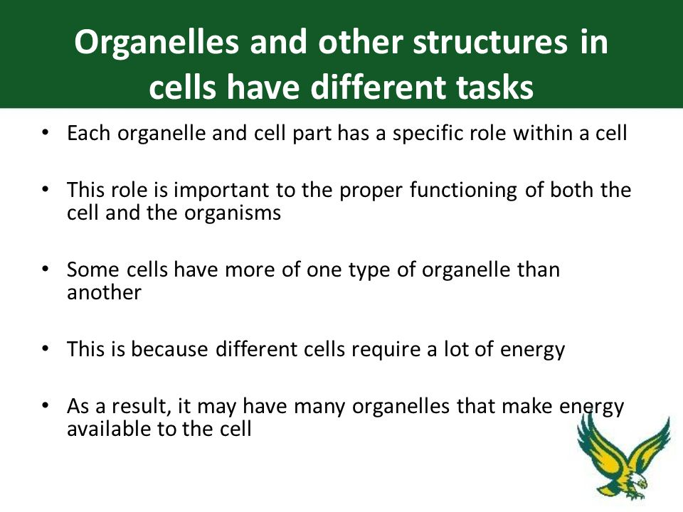 Each organelle and cell part has a specific role within a cell This role is important to the proper functioning of both the cell and the organisms Some cells have more of one type of organelle than another This is because different cells require a lot of energy As a result, it may have many organelles that make energy available to the cell