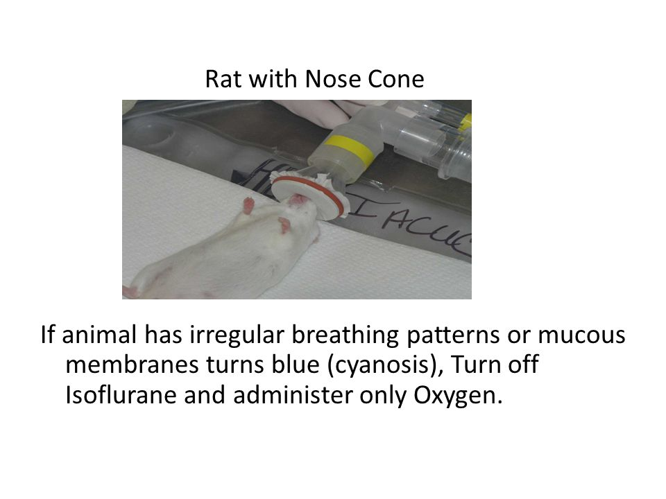 Rat with Nose Cone If animal has irregular breathing patterns or mucous membranes turns blue (cyanosis), Turn off Isoflurane and administer only Oxyge