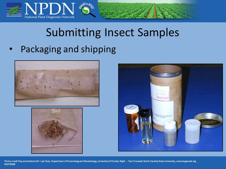 Photo credit:Top and bottom left - Lyle Buss, Department of Entomology and Nematology, University of Florida; Right - : Tom Creswell, North Carolina State University, www.bugwood.org, #5078058 Packaging and shipping
