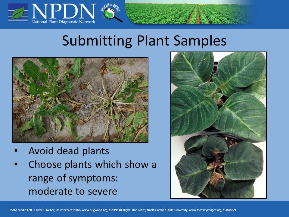 Submitting Plant Samples Avoid dead plants Choose plants which show a range of symptoms: moderate to severe Photo credit: Left - Oliver T. Neher, Univ