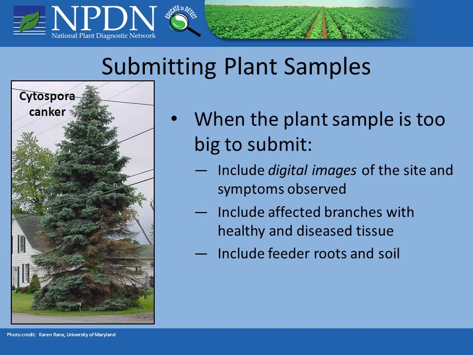 Submitting Plant Samples When the plant sample is too big to submit: ―Include digital images of the site and symptoms observed ―Include affected branches with healthy and diseased tissue ―Include feeder roots and soil Photo credit: Karen Rane, University of Maryland Cytospora canker