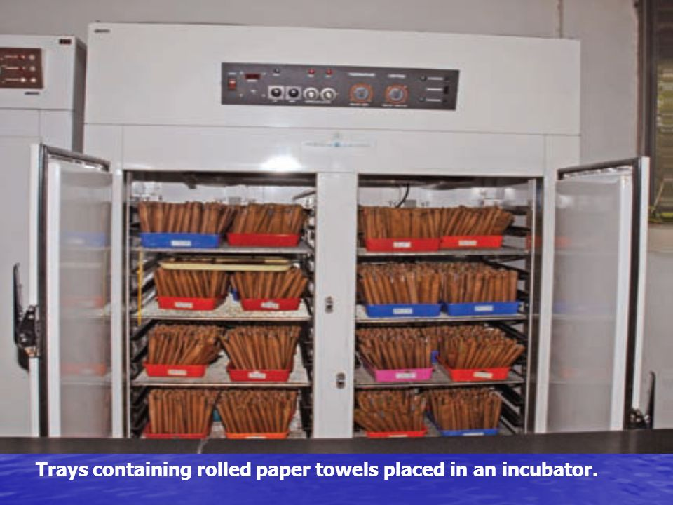 Trays containing rolled paper towels placed in an incubator.