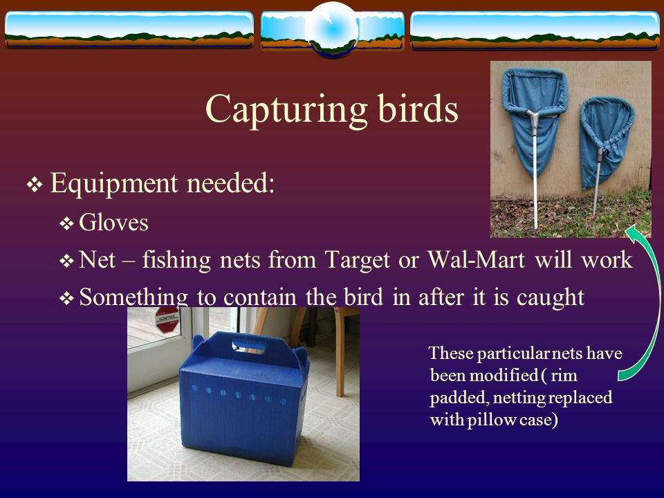 Capturing birds  Equipment needed:  Gloves  Net – fishing nets from Target or Wal-Mart will work  Something to contain the bird in after it is caught These particular nets have been modified ( rim padded, netting replaced with pillow case)