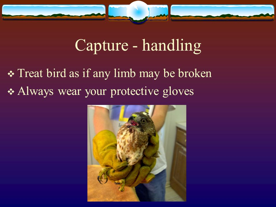 Capture - handling  Treat bird as if any limb may be broken  Always wear your protective gloves