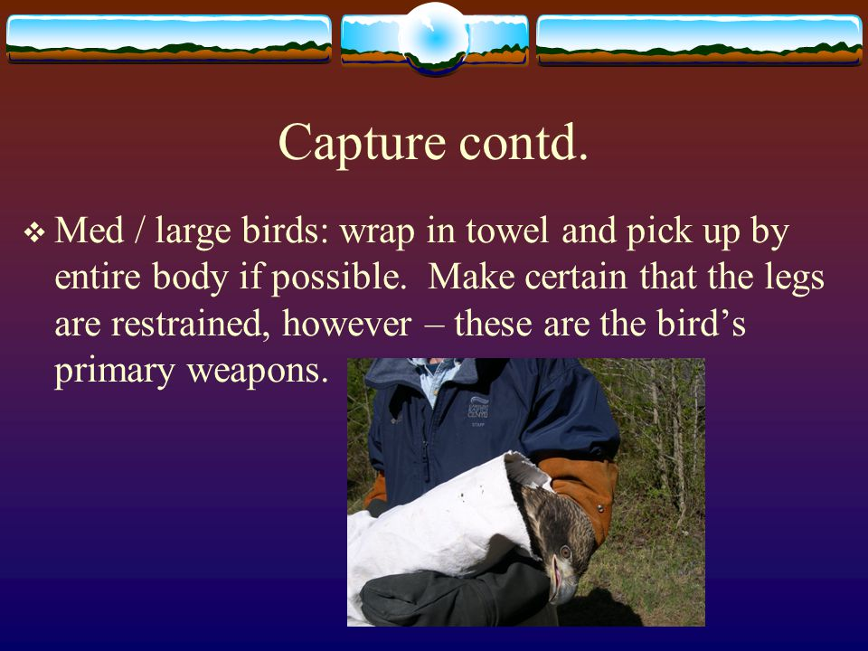 Capture contd.  Med / large birds: wrap in towel and pick up by entire body if possible.