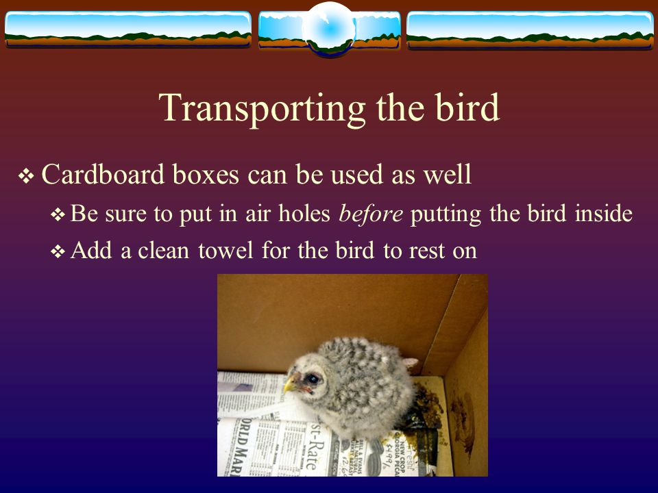 Transporting the bird  Cardboard boxes can be used as well  Be sure to put in air holes before putting the bird inside  Add a clean towel for the bird to rest on
