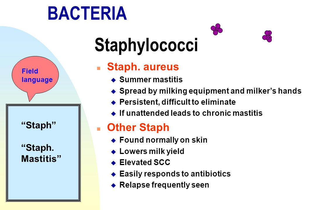 BACTERIA Staphylococci n Staph. aureus u Summer mastitis u Spread by milking equipment and milker's hands u Persistent, difficult to eliminate u If un