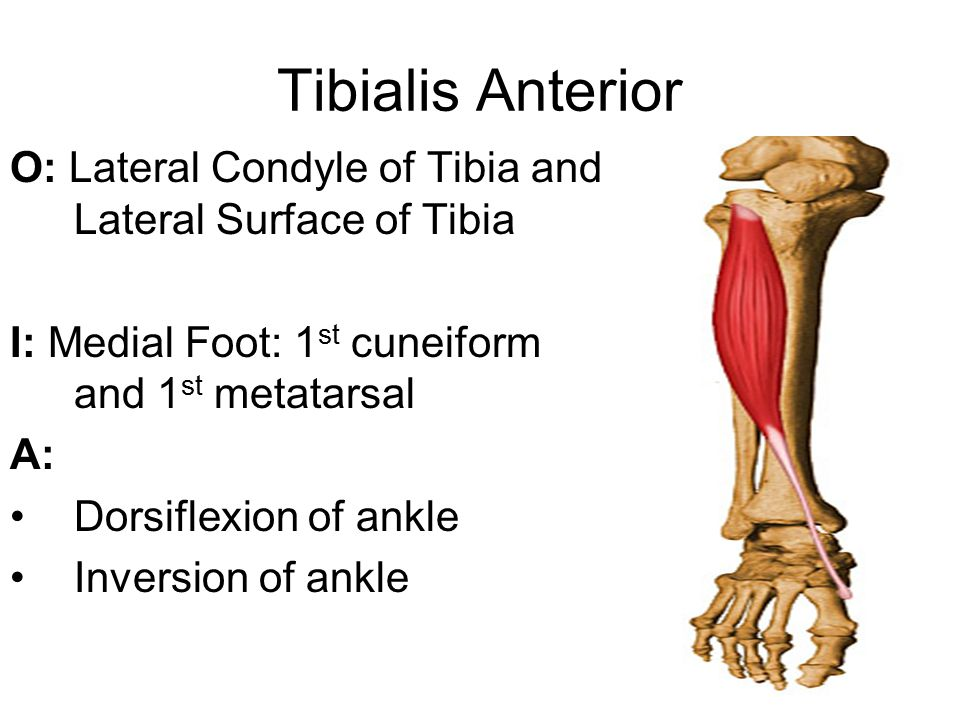 Tibialis Anterior O: Lateral Condyle of Tibia and Lateral Surface of Tibia I: Medial Foot: 1 st cuneiform and 1 st metatarsal A: Dorsiflexion of ankle