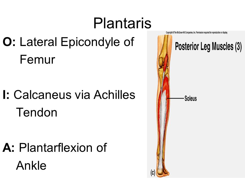 Integrated Function of Plantaris Assists in eccentric deceleration of ankle dorsiflexion Assists in dynamic stabilization of the tibio-femoral joint during functional movement