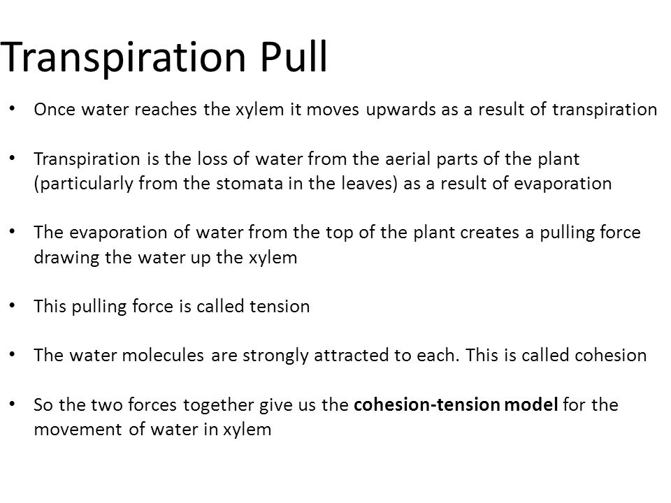 Transpiration Pull Once water reaches the xylem it moves upwards as a result of transpiration Transpiration is the loss of water from the aerial parts