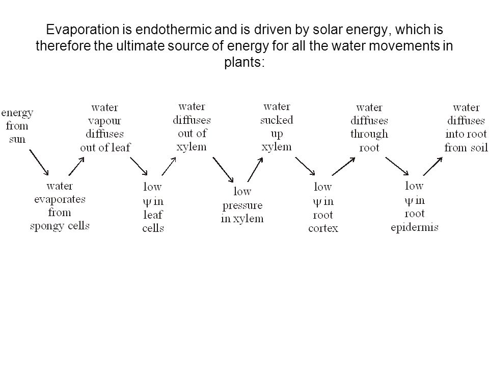 RATE OF TRANSPIRATION Is driven by evaporation at the leaf and the water potential gradient