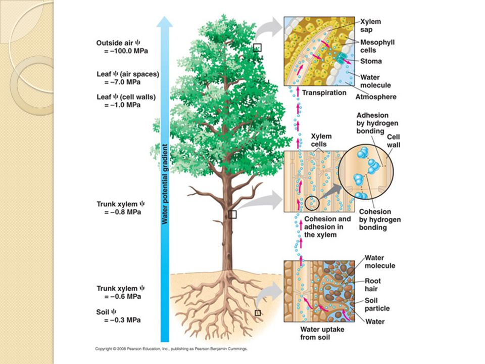Homework The root hairs of a plant and the alveoli of the lungs are exchange surfaces What molecules or ions are involved.