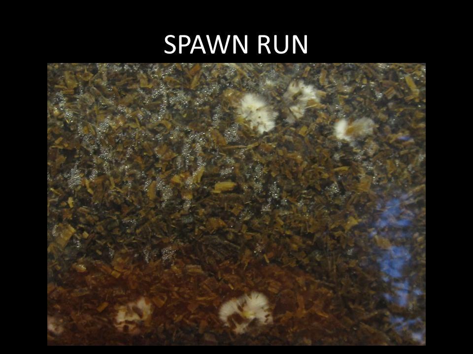SPAWN RUN