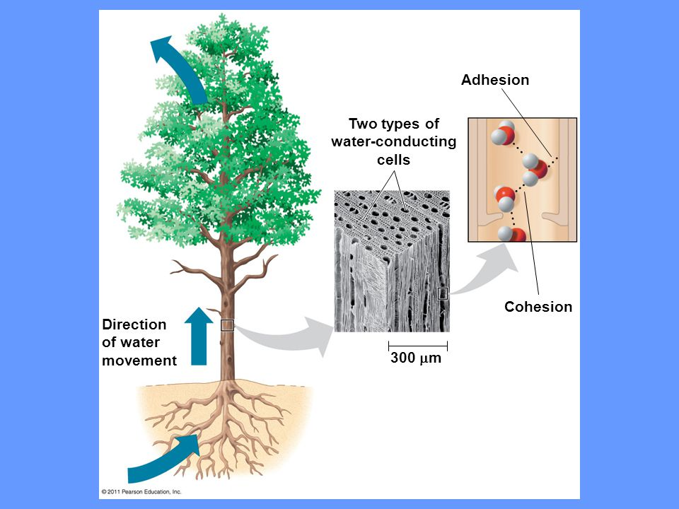 Adhesion Two types of water-conducting cells Cohesion 300  m Direction of water movement