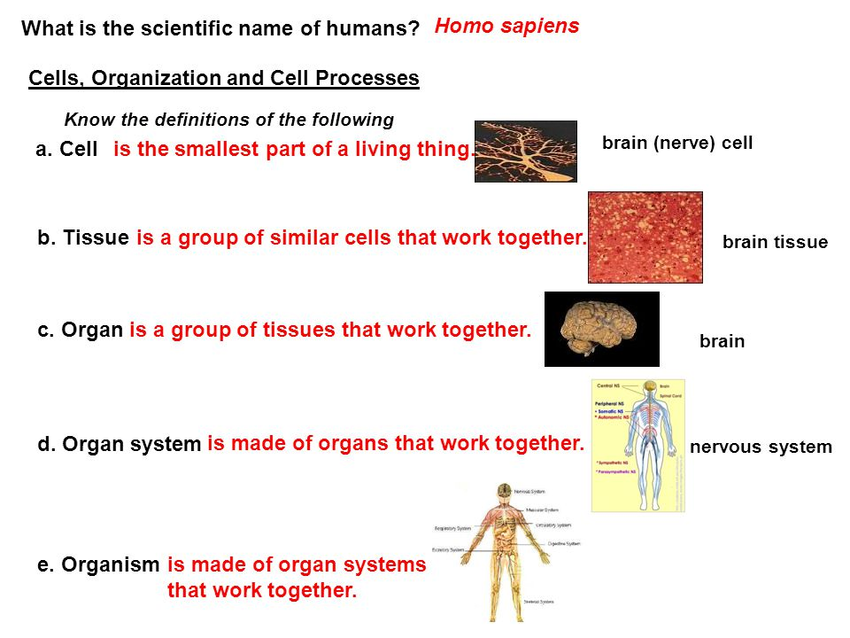 What is the scientific name of humans? Homo sapiens Cells, Organization and Cell Processes Know the definitions of the following a. Cellis the smalles