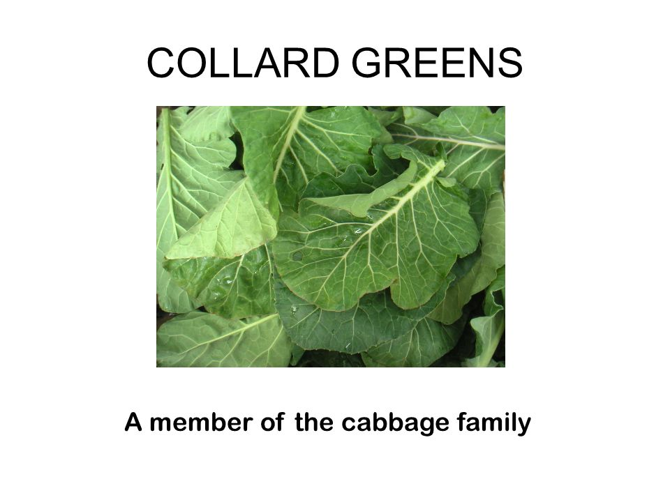 COLLARD GREENS A member of the cabbage family