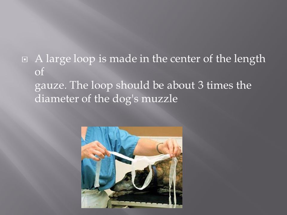  A large loop is made in the center of the length of gauze. The loop should be about 3 times the diameter of the dog's muzzle