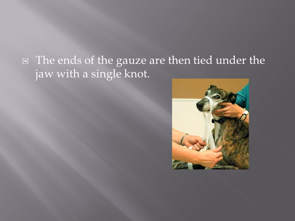  The ends of the gauze are then tied under the jaw with a single knot.