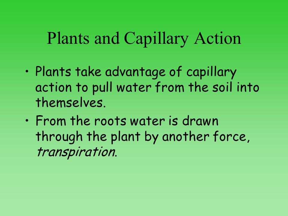 Plants and Capillary Action Plants take advantage of capillary action to pull water from the soil into themselves.