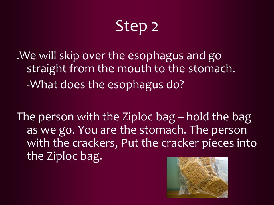 Step 2.We will skip over the esophagus and go straight from the mouth to the stomach. -What does the esophagus do? The person with the Ziploc bag – ho
