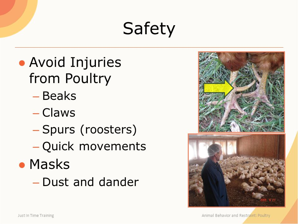 Safety ●Avoid Injuries from Poultry – Beaks – Claws – Spurs (roosters) – Quick movements ●Masks – Dust and dander Just In Time Training Animal Behavior and Restraint: Poultry