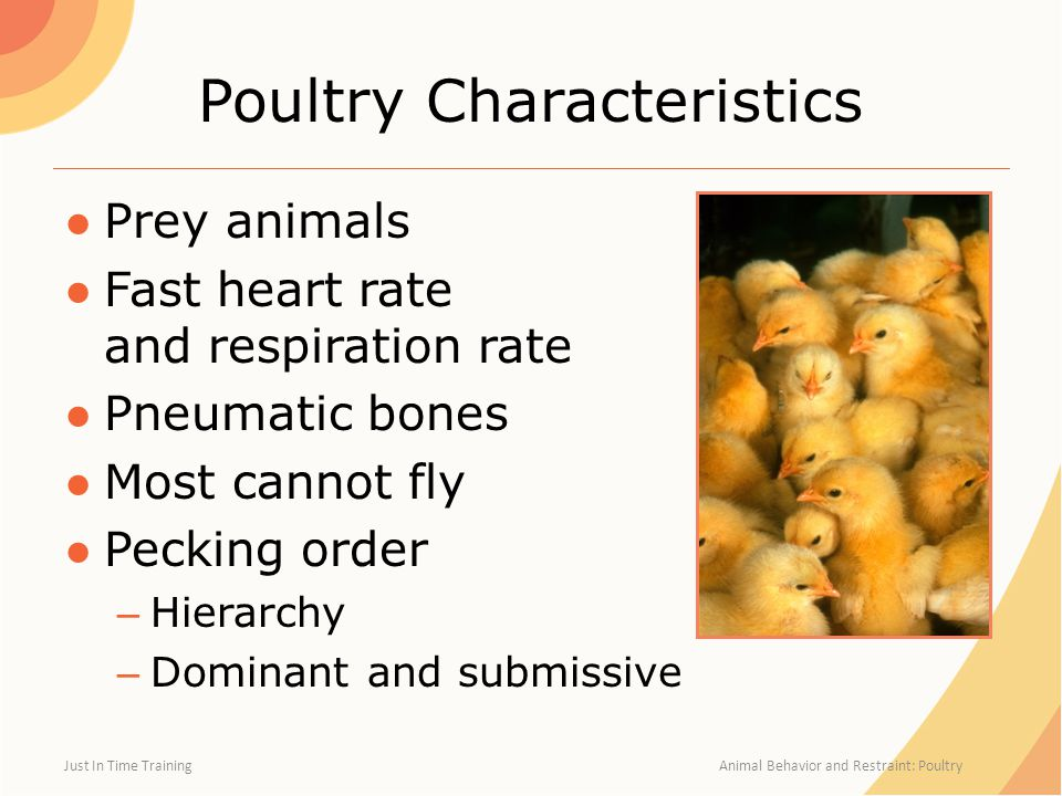 Poultry Characteristics ●Prey animals ●Fast heart rate and respiration rate ●Pneumatic bones ●Most cannot fly ●Pecking order – Hierarchy – Dominant and submissive Just In Time Training Animal Behavior and Restraint: Poultry