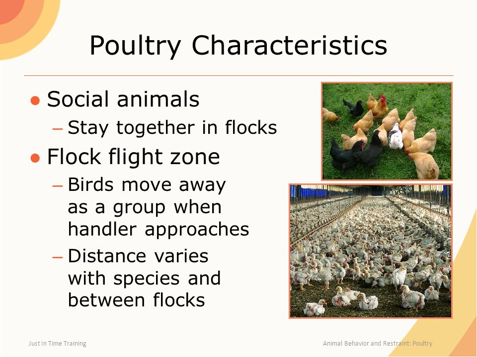 Poultry Characteristics ●Social animals – Stay together in flocks ●Flock flight zone – Birds move away as a group when handler approaches – Distance varies with species and between flocks Just In Time Training Animal Behavior and Restraint: Poultry