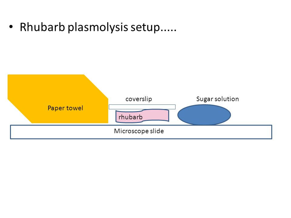 Rhubarb plasmolysis setup..... Paper towel Microscope slide rhubarb coverslipSugar solution