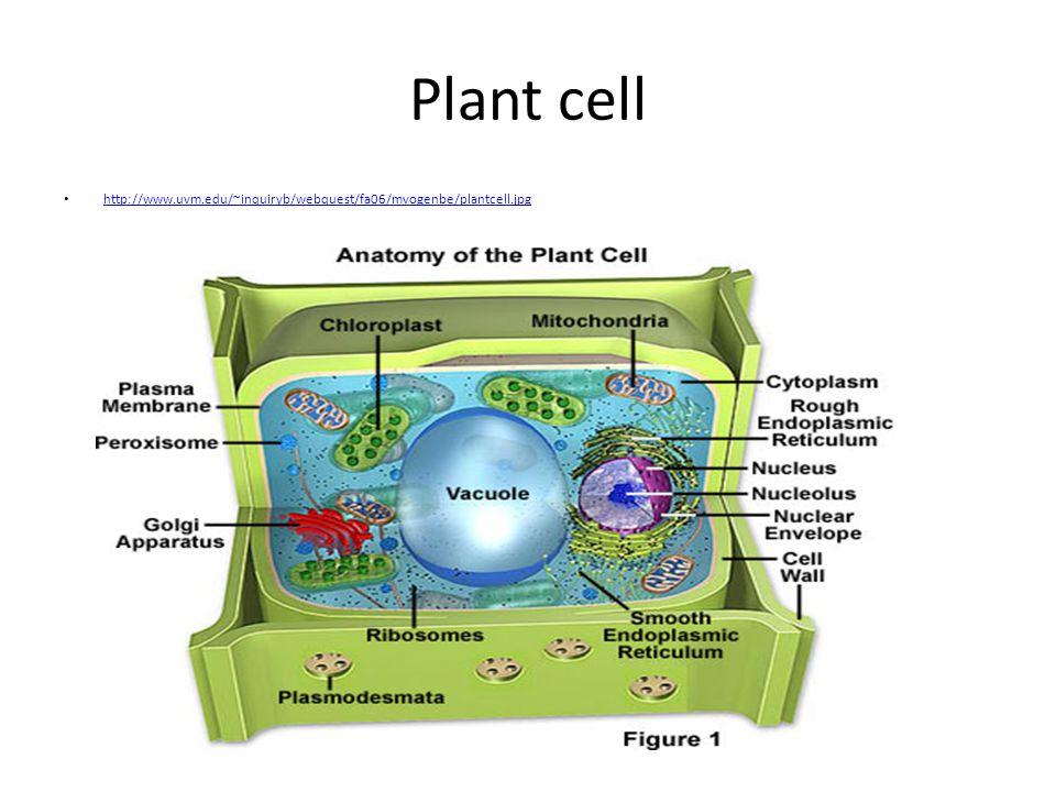 Plant cell http://www.uvm.edu/~inquiryb/webquest/fa06/mvogenbe/plantcell.jpg